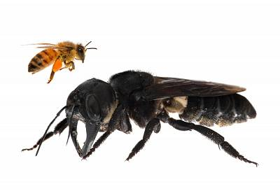 This undated handout photomontage provided by Global Wildlife Conservation on February 21, 2019, shows a living Wallaces giant bee (Megachile pluto) (R), which is approximately four times larger than a European honeybee, after it was rediscovered in the Indonesian islands of the North Moluccas.