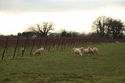 Sheep graze at Nyetimber Wine Estate in West Chiltington, England.