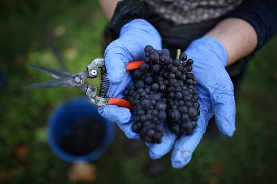 A worker holds grapes picked at Denbies Wine Estate in Dorking, England.