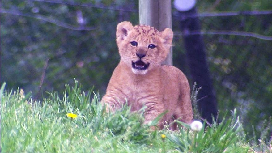 Szerencsés oroszlánkölyök