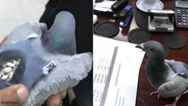 کبوتر قاچاقچی در کویت توقیف شد