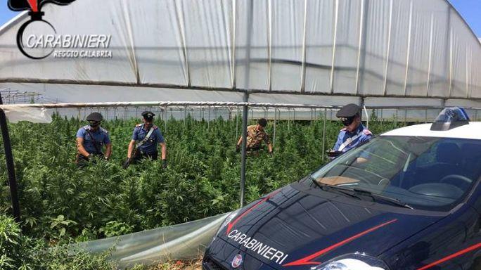 Megapiantagione di marijuana scoperta in Calabria