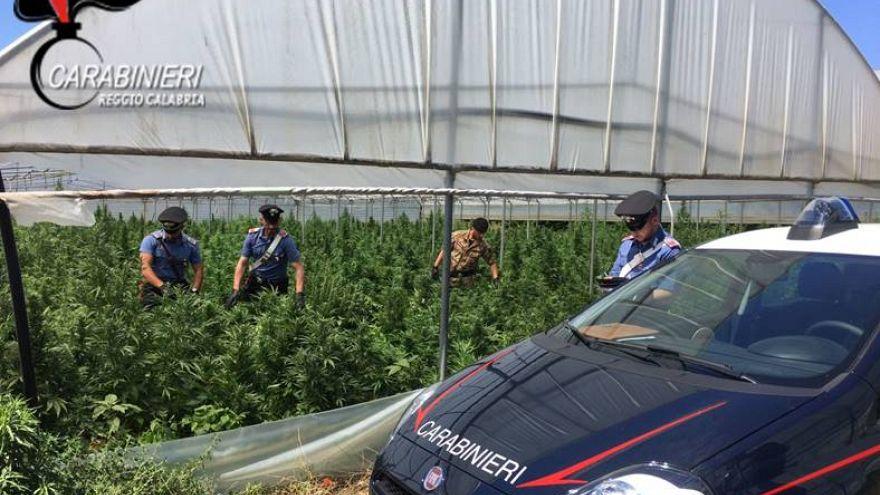 Itália: 15 mil plantas de marijuana num terreno municipal