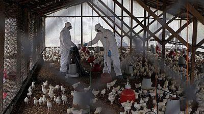 RDC : des cas de grippe aviaire signalés dans l'Ituri