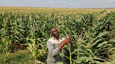 South Africa expecting to harvest highest maize crop in 4 decades