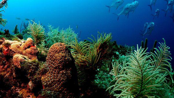 Ο ερωτικός χορός των κοραλλιών και η διάσωση των κοραλλιογενών ύφαλων