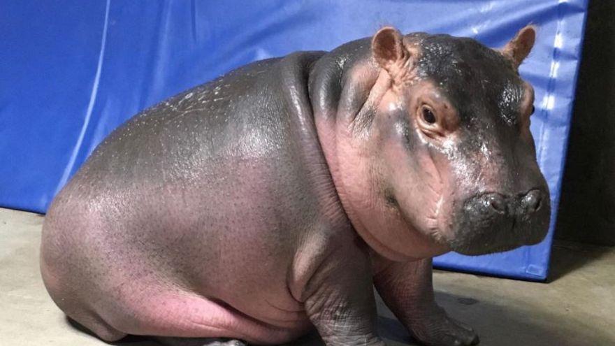 Baby hippo Fiona makes media splash