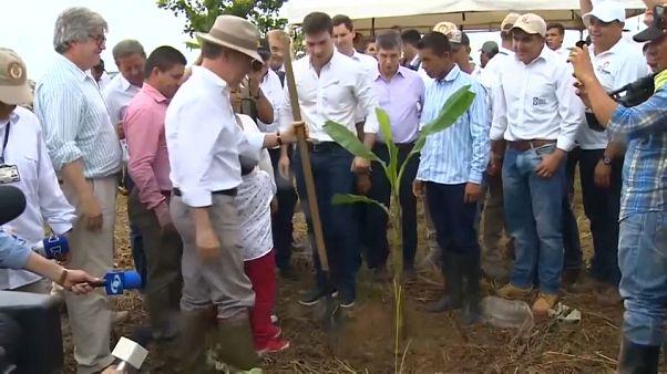 Colombia cambia la coca por el plátano