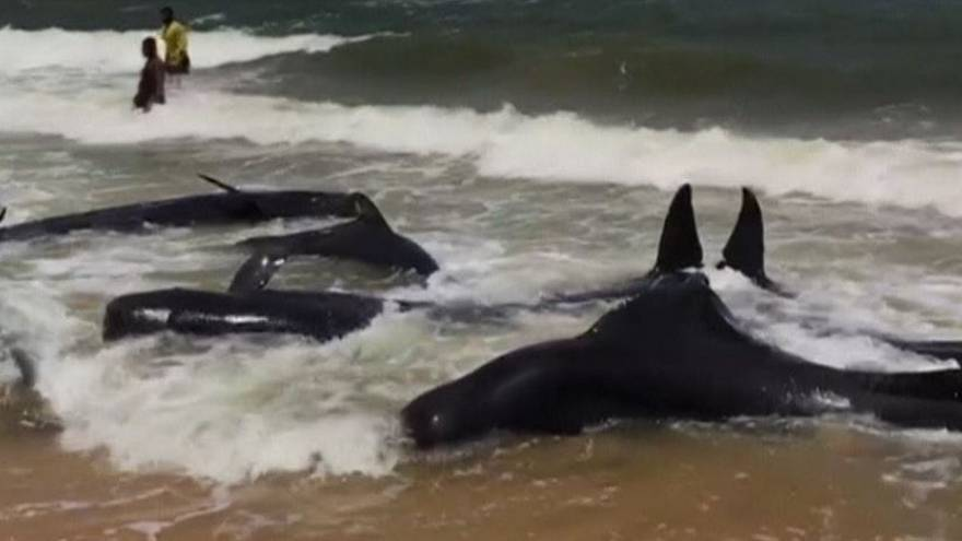 Stranded whales in Sri Lanka pushed back into the sea