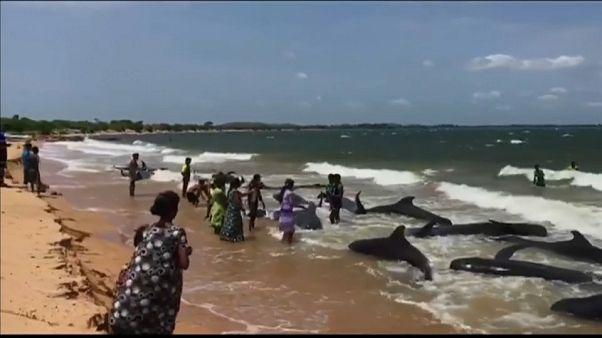 Baleias dão à costa no Sri Lanka