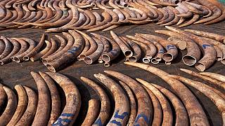 China denies involvement in ivory smuggling from Uganda