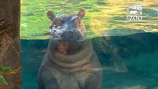 Fiona, la bebé hipopótamo prematura, plenamente recuperada