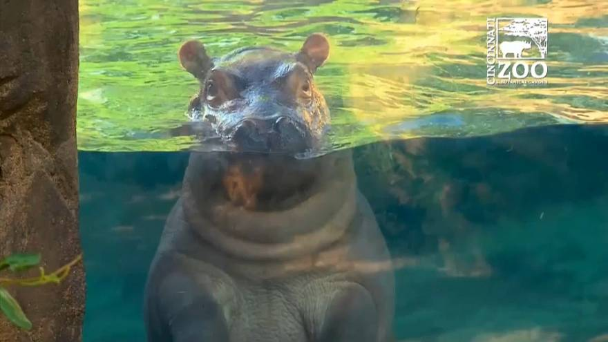 Meet Fiona - the hippo with millions of fans