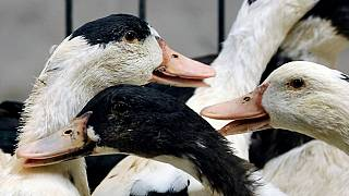 Zimbabwe reports outbreak of bird flu virus