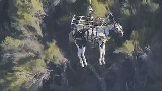 مروحية ورجال انقاذ لنقل حصان مصاب
