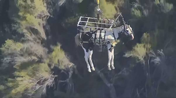Horse feathers in California as steed airlifted to safety