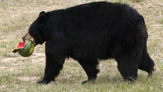 Медведь-пианист