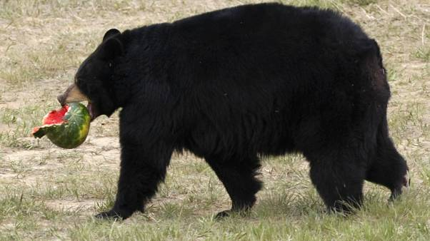 Whooao black Betty! Home invading bear captured playing piano