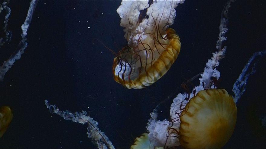 un musée de méduses au Japon