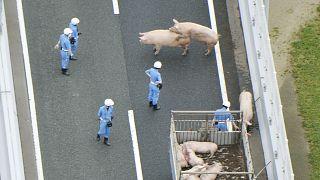 Kurzes Glück: Schweine entwischen aus Schlachttransporter
