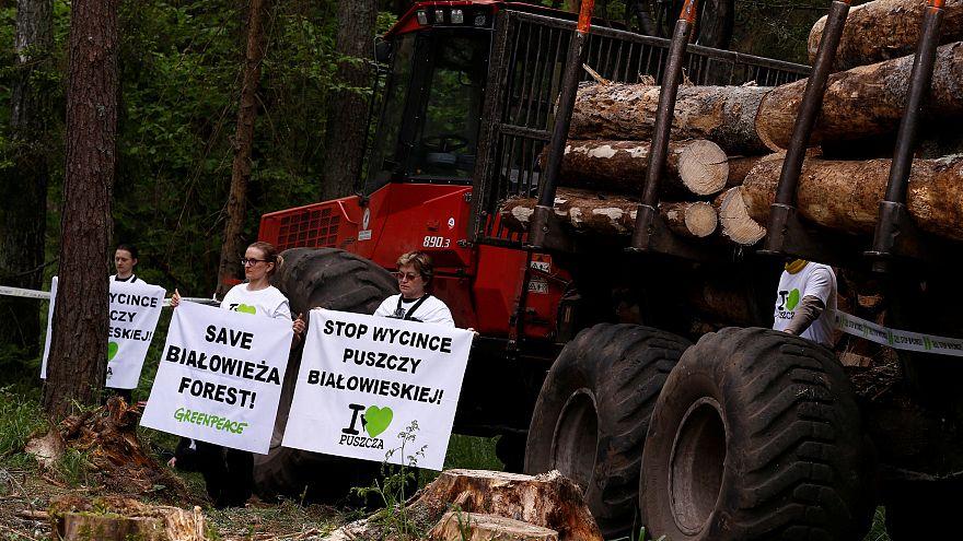 Вырубка деревьев в Беловежской пуще
