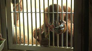 Orangutan Nonja stres çarkını sevdi