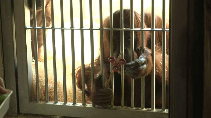Un orangotango alle prese con un fidget spinner