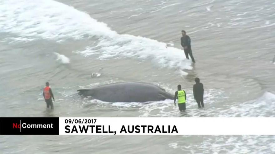 Australia: rescue efforts underway for 12-metre-long beached whale