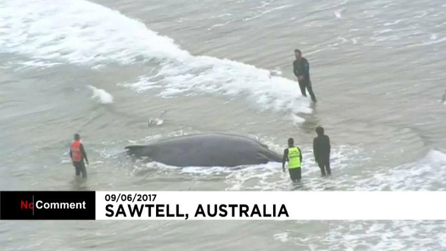 محاولة إنقاذ حوت جنح إلى أحد الشواطئ الاسترالية