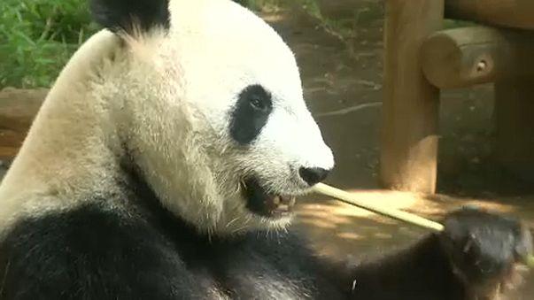 Japan freut sich über Panda-Nachwuchs