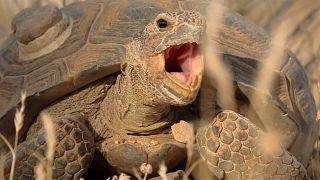 Kalifornien: Dürre bringt Schildkröten in Gefahr