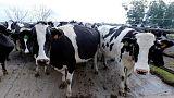 Katar'a havadan 4 bin inek desteği