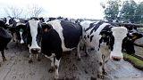 جسر جوي لنقل الأبقار إلى قطر وتأمين احتياجاتها من الحليب