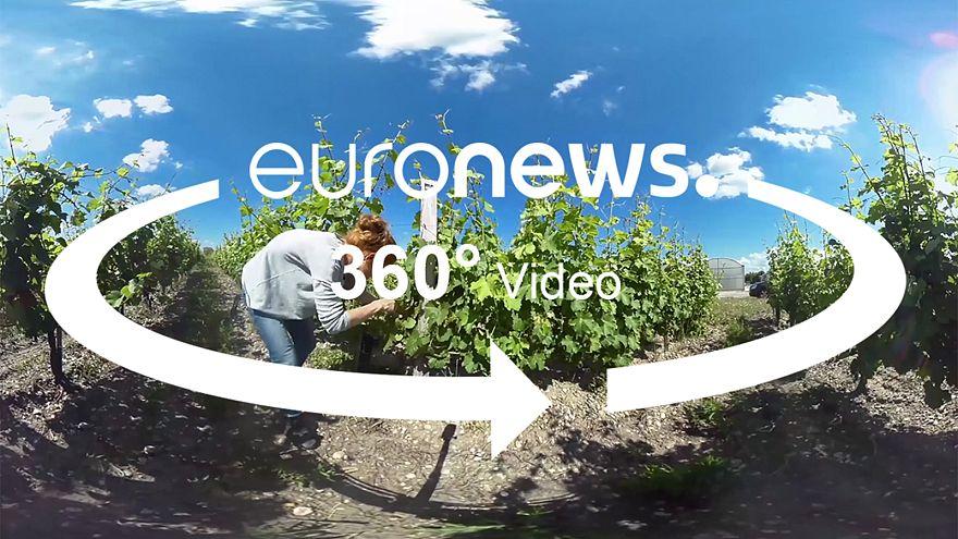 A klímaváltozásnak ellenálló szőlővel kísérleteznek Bordeaux-ban