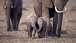 Animal rights groups oppose sale of Namibian baby elephants to UAE park