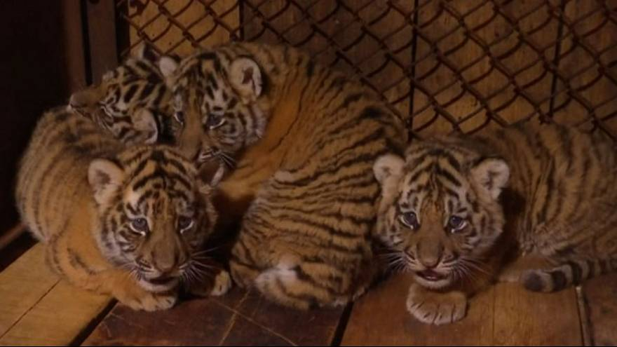 Endangered tiger cubs gear up to meet the public