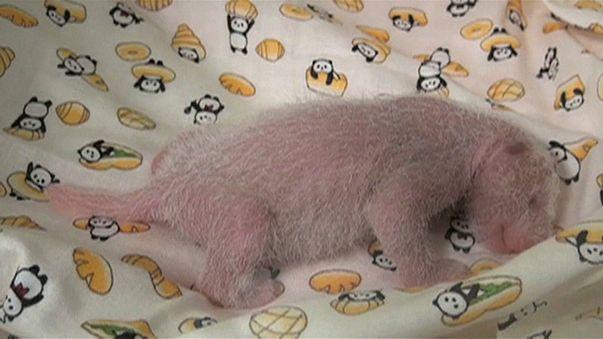 Aww! Fresh footage of newborn panda