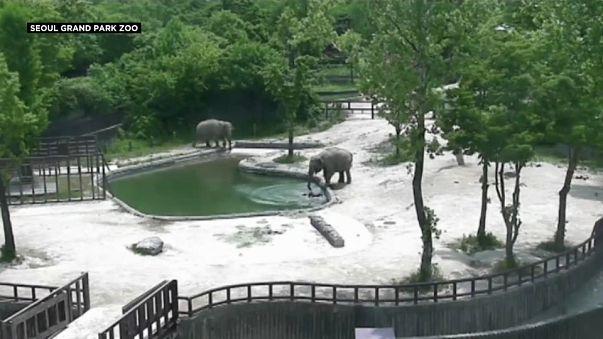 Yavru fili boğulmaktan anne ve teyzesi kurtardı