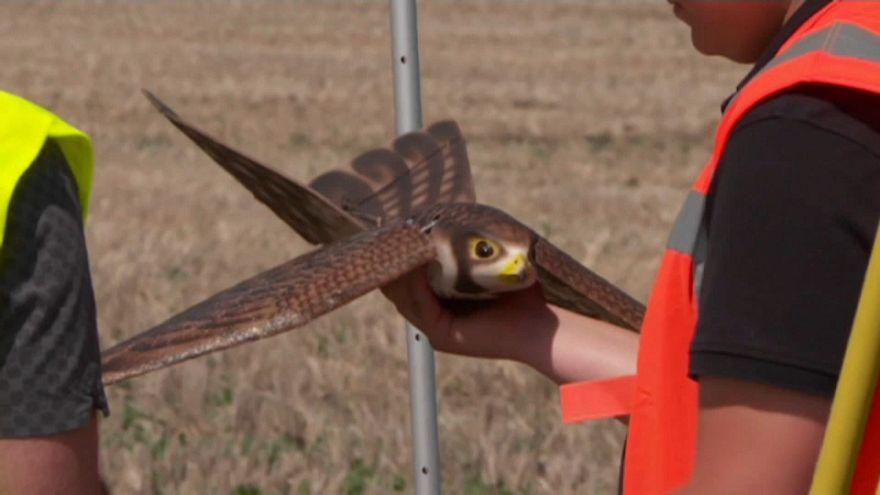 Птица-робот отпугивает пернатых от самолетов аэропорта Эдмонтон