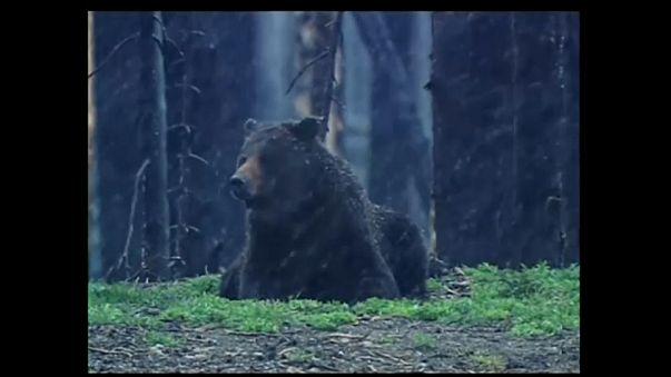 El oso Grizzly de Yellowstone perderá la protección como especie en peligro de extinción