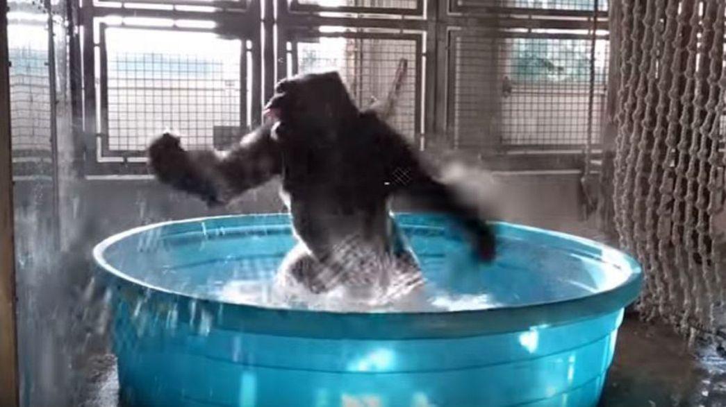 Groovy gorilla makes a splash on the web