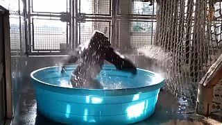 Genç gorillanın havuz sefası ve su dansı