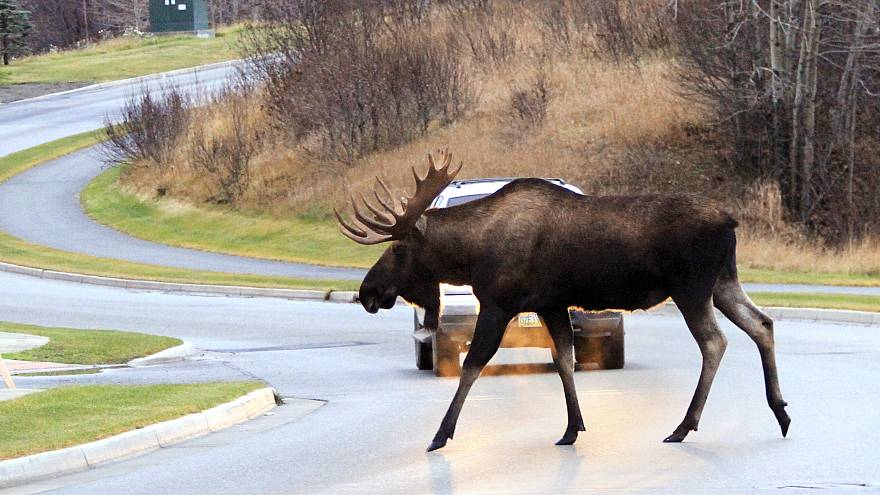 Image: Moose crossing