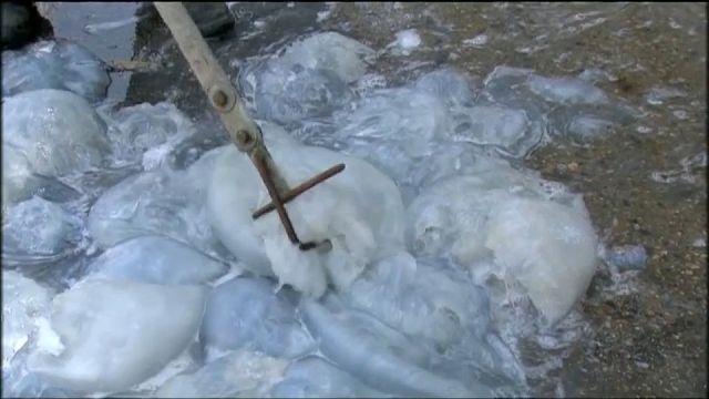 شاهد: قناديل البحر تهاجم محطة لتوليد الكهرباء في اسرائيل