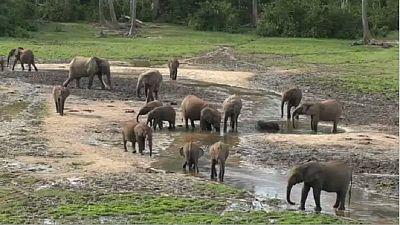 Centrafrique: la faune, victime du conflit en cours