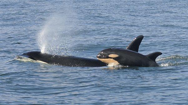 Horror, ahogy a gyilkos bálnák a fehér cápákat eszik