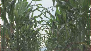 Afrique du Sud : la production du maïs va doubler