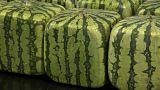 البطيخ في اليابان على شكل مكعبات