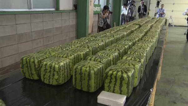 Kocka alakú görögdinnyéket termesztenek