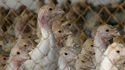 260,000 birds culled to contain bird flue outbreak in South Africa